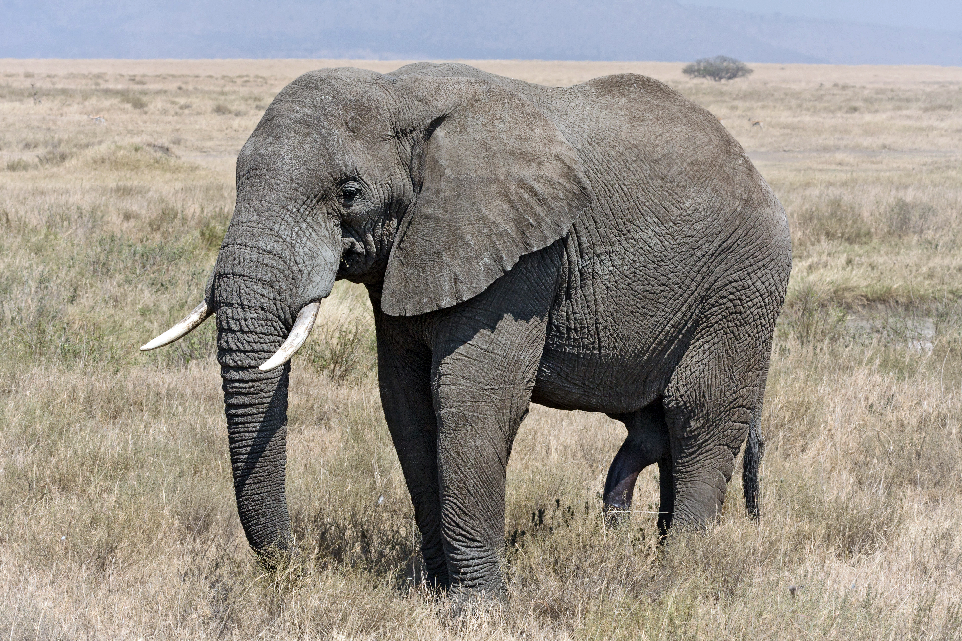 Serengeti_Elefantenbulle.jpg