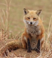 kit_fox.jpg