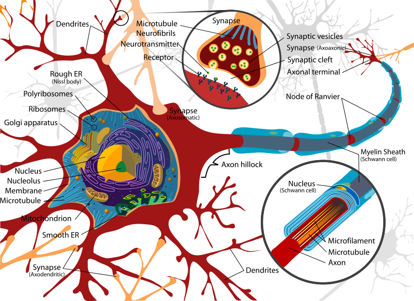 Complete_neuron_cell_diagram_en.svg.png