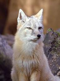 コサックギツネ - Wikipedia - Google Chrome 2017-07-15 01.00.34.png