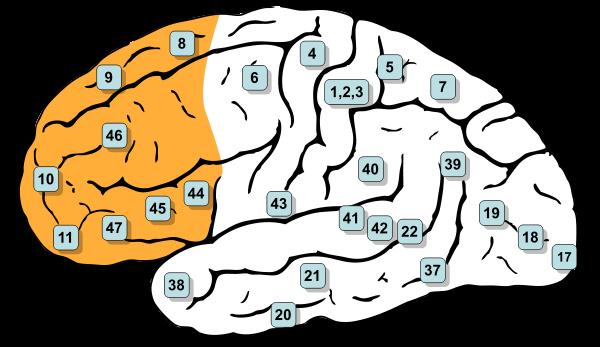 600px-Gray726-Brodman-prefrontal.svg.png