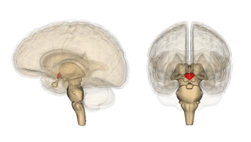 500px-Hypothalamus_image.png
