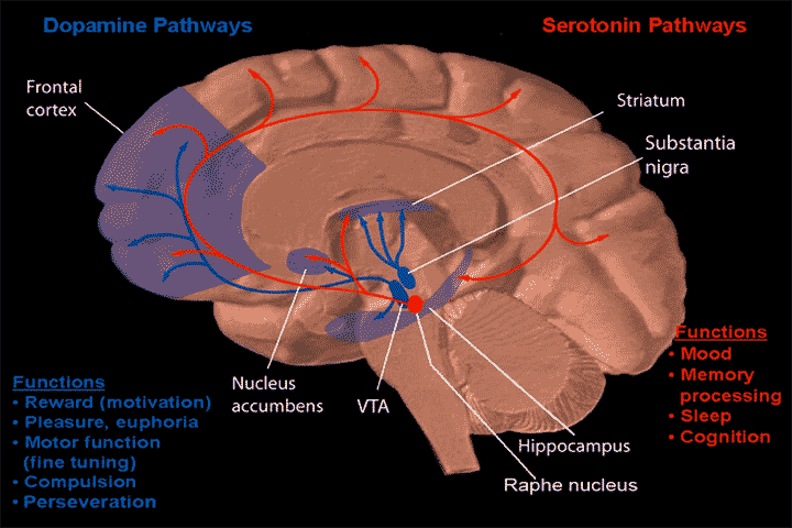 Dopamine_and_serotonin_pathways.png